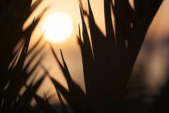 Ocaso entre palmeras (G. Goitia) Tags: palmeras palmas hojasdepalma sol sun sunset ocaso atardecer puestadesol naranja orange enfoque desenfoque foco focus canoneos5d canon ef70200mmf28lisiiusm encuadre clich framing luznatural luz light lighting sinflash color airelibre
