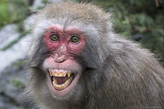 Japanese Macaque (Susan.Johnston) Tags: calgaryzoo japanesemacaque