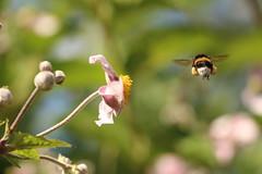 Les routiers sont sympas ... (leblondin) Tags: bourdon insecte insectevolant fleur pollen vol flight fly nature butiner voler bumblebee hummel abejorro zango inseto insecto insekt
