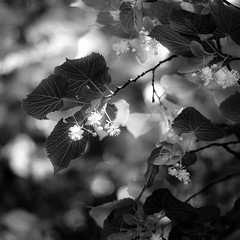 Linden Tree 004 (noahbw) Tags: captaindanielwrightwoods d5000 dof nikon abstract blackwhite blackandwhite blooms blur bokeh branches bw depthoffield dreamlike dreamy flowers forest leaves light linden monochrome natural noahbw shadow spring square trees woods