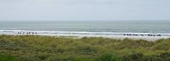 Ameland (Joep Hendrix) Tags: ameland eiland wadden waddeneiland noordzee strand beach duinen duin zand zomer wind paarden paard ruiters panorama view