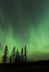 The night's not dark and it isn't full of terrors (Tracey Rennie) Tags: northernlights aurora alberta grandvalleyroad auroraborealis trees stars