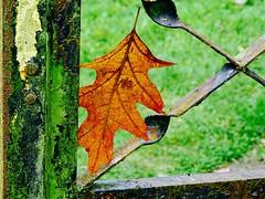 First sign of Autumn (lizfy30) Tags: leaf gate rust algae garden moss