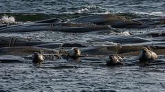Chillen am Meer (Norbert Helbig) Tags: natur nature nikon d5200 europa norwegen norway wildlife outdoor meer robbe robben wasser hvasser