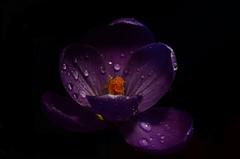 All the Beauty of Life is made up of Light and Shadow. (Đøn@tus) Tags: macroflowers flowers raindrops drops waterdrops lightinginthenight nightlight lightsandshadows shadow blackbackground purple macro