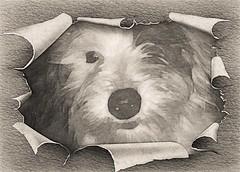Introducing Duey* (Photosintheattic (Devy)) Tags: monochrome puppy lovedone family friend bestfriend truelove unconditionallove