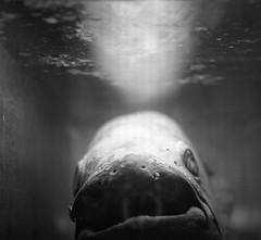 Clacanthe (Philippe Torterotot) Tags: bruxelles tervuren museum nightmare fish cauchemar rve belgique rolleiflex argentique analog film muse fossile