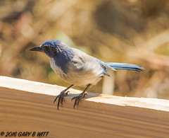 Western Scrub-jay (orencobirder) Tags: jays largebirds birds flickrexport