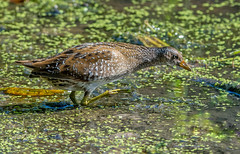 DSC5246  Spotted Crake.. (jefflack Wildlife&Nature) Tags: spottedcrake crake crakes rails birds avian wildlife wildbirds waterbirds wetlands waterways lakes ponds countryside nature