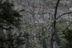 """Mountain Goat • <a style=""""font-size:0.8em;"""" href=""""http://www.flickr.com/photos/63501323@N07/29828689794/"""" target=""""_blank"""">View on Flickr</a>"""
