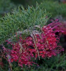 Grevillea maxwellii, Kings Park, Perth, WA, 16/08/16 (Russell Cumming) Tags: plant grevillea grevilleamaxwellii proteaceae kingspark perth westernaustralia