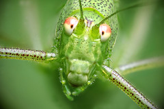 Orthoptera portrait (Robert Krner) Tags: orthoptera heuschrecke zerene stacker stacked macro makro insekt nikon d7000 retro outdoor