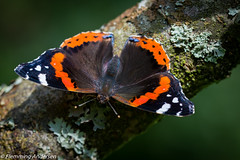 Butterfly (Flemming Andersen) Tags: outdoor insect green butterfly animal vestervig northdenmarkregion denmark dk