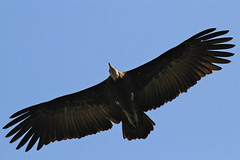 Hooded Vulture (Baractus) Tags: hooded vulture the gambia john oates sunbird tours