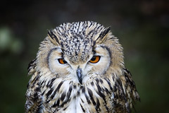 I hate Mondays... (michel1276) Tags: vogel eule tier bird owl outdoor uhu