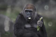 Gorilla Mother (z_a_r_a) Tags: gorilla mother eating nature bokeh dof portrait closeup