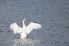 Stretching Swan (oandrews) Tags: animal bird canon canon70d canonuk cygnusolor fendraytonlakes muteswan nature naturereserve outdoors rspb wildlife wildoctober wings fenstanton england unitedkingdom gb