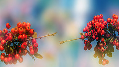 Autumn (augustynbatko) Tags: fruit fruits autumn macro nature plant