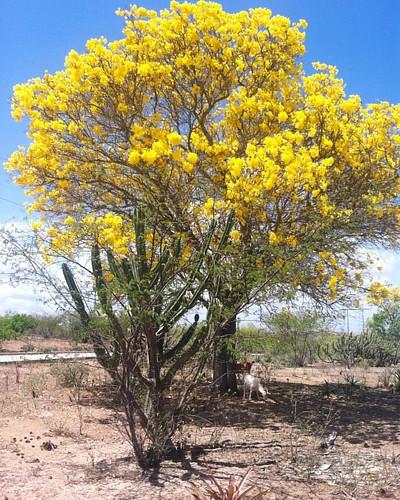 Cores do sertão 🌵🍂🌼🍃☀️ #landscape #caatinga #sertão #alagoas #ipeamarelo #nature