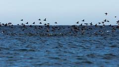 "''Spectacle!"" Macreuse  front blanc (pascaleforest) Tags: canard duck oiseau bird nature nikon wildlife passion gaspsie migration"