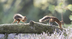 Red Squirrel. (richard.mcmanus.) Tags: redsquirrel squirrel britishwildlife wildlife blackisle scotland scottishhighlands jamesmoore richardmcmanus animal mammal