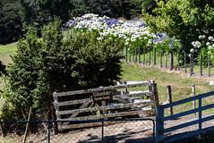 Gate is Open (Jocey K) Tags: newzealand southisland bankspeninsula road summer scene landscape littleakaloa agapanthus flowers trees gate fence