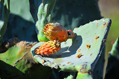 Feigenkaktus (TitusT1960) Tags: pflanze kaktus feigenkaktus blte frucht