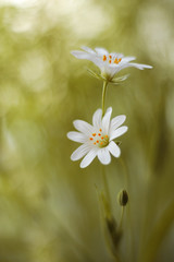 Stellaria (ElenAndreeva) Tags: flowers forest color macro blue sun light summer bokeh beautiful cute colors green 500px canon garden soft colorful sweet focus amazing stellaria nature flower spring