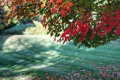 Autumn colors (JPShen) Tags: maple color changing autumn leaf bokeh grass falling leaves