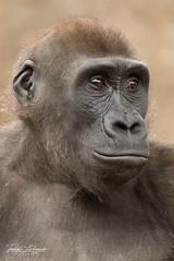 Monroe (ToddLahman) Tags: monroe westernlowlandgorilla gorilla sandiegozoosafaripark safaripark canon7dmkii canon canon100400 portrait closeup sadface