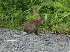 CIMG1375.jpg (sjp.) Tags: rabbit flickr animal