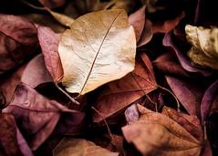 Golden (Daniela 59) Tags: sliderssunday leaves dead dry dryleaves deadleaves textures colour nature plant danielaruppel
