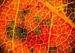 """""""Autumn leaf"""" backlit (LSydney) Tags: macromondays backlit flickrfriday autumnleaves leaf texture macro"""