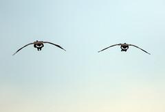 Canada Geese (eyes) (Ed Sivon) Tags: american america canon nature lasvegas wildlife wild western southwest eyes clarkcounty clark vegas bird canada henderson nevada nevadadesert