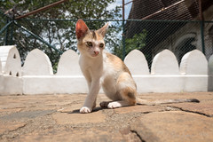 (GenJapan1986) Tags: 2016 dambulla      worldheritagesite temple srilanka   animal cat