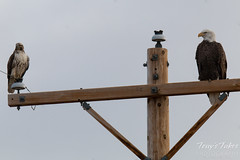A Bald Eagle sizes up the raptor sharing his perch