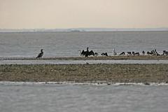 Cormorants and Friends (Essex Explorer) Tags: cormorants gulls essex oystercatchers stosyth colnepoint img4951