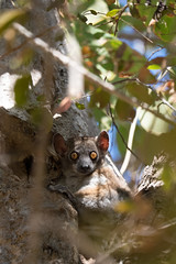 Red tailed sportive lemur - hope we didn't wake him up!