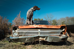 On Top Of The ... Plymouth (MilkaWay) Tags: georgia rust classiccar commerce plymouth birddog 1966 tessa 1967 junkyard 1968 gsp jalopy 1965 germanshorthairedpointer 6yearsold jacksoncounty junkcar plymouthfury 1965plymouth littledoglaughedstories