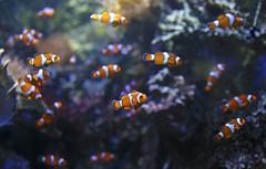 Poissons-clowns (Philippe POUVREAU) Tags: aquarium nemo clown poisson poissons poissonclown loireatlantique croisic amphiprioninae océarium océariumcroisic