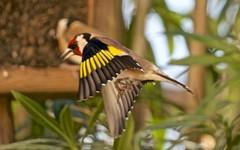 Chardonneret lgant -  IMG_4667 (6franc6) Tags: 30 jardin janvier oiseau languedoc gard 2015 milhaud 6franc6