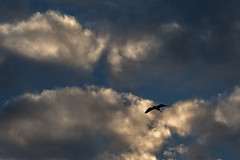 Flying High (bhodaporel) Tags: sky india bird clouds freedom flying high wings flight assam soar
