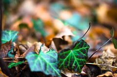 Where's the holly? (carogray1) Tags: wood vacation blur leaves switzerland dof bokeh patterns branches ivy bern fallenleaves winterscene colorsofnature