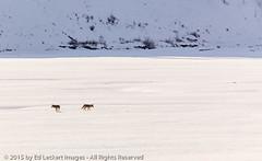 Room to Roam, Yellowstone National Park, Wyoming (edleckert) Tags: coyote winter snow color animal horizontal mammal outdoors photography nationalpark day unitedstates canine yellowstonenationalpark northamerica wyoming frozenwater wilddog westernusa canoneos5dmarkii pawedmammal