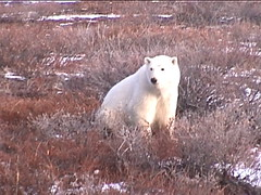 Polar Bear Churchill 8