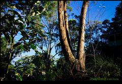 141228-7035-EOSM.jpg (hopeless128) Tags: trees australia bluemountains 2014