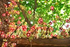 Abricó-de-macaco #02 (Richard Morais) Tags: light red naturaleza plant flower tree primavera luz southamerica nature fleur colors lesbian cumshot leaf spring nikon alma natureza anal natur flor natura vegetable best explore hardcore oral blonde brunette amateur milf árvore blowjob vegetal canonball amazonia couroupitaguianensis paisagismo creampie 2470mm abricódemacaco cannonballtree abricot lecythidaceae eudicots 28g ericales asterids d7100 richardmorais