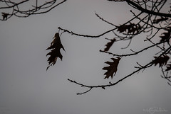 Last of the Leaves (KWPashuk) Tags: tree nature leaves silhouette oak nikon dof branches d200 tamron150600mm kwpashuk kevinpashuk