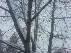 February 1, 2015 - Fresh snow on trees in Thornton. (LE Worley)