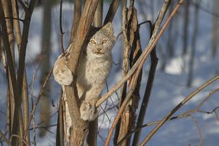 Lynx Kitten - YWP